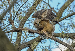 Great Horned Owlet streching. (24) (Estrada77) Tags: greathornedowl owlet owl raptors birdsofprey distinguishedraptors wildlife spring2019 kanecounty illinois birds birding outdoors perched nikon nikond500200500mm nature animals may2019