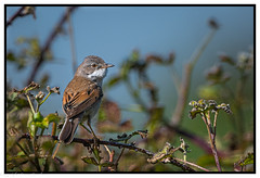 Whitethroat (steve.gombocz) Tags: bird nikon nikobd850 nikoneurope nikoncamera nikkor nikonfx nikon500mmf4 avian uccello oiseau vogel ave pajaro flickraddicts birdphotograph outdoor animal outandabout nature wildlife wildlifereserve naturereserve wildlifephotos naturephotos wildlifephotograph wildlifephotography naturephotography wildlifepicture naturepicture bbcspringwatch tier ngc animale flickrwildlife flickrnature britishwildlife rspb rspbbemptoncliffs birds ukbird whitethroat birdwatch birdwatcher birdwatching naturewildlife flickrbirds birdphoto birdpictures birdsightings colour colours color