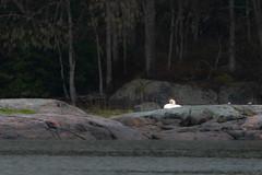 Swan nesting (JarkkoS) Tags: 70200mmf28efledvr animal bird boat boating d500 dragesviken finland kirkkonummi porkkala porkkalamarin swan tc17eii uusimaa
