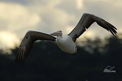 Pelican (Ross McConchie) Tags: australianpelican pelican