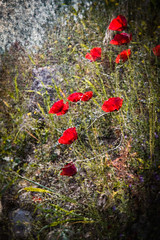Poppies in Ancient Greece (judy dean) Tags: judydean 2019 lensbaby textures ps sliderssunday poppies red greece tiryns