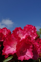 Red and blue (Steenjep) Tags: blomst flower macro makro closeup rhododendron garden have sky himmel cloud