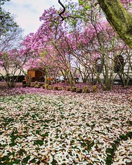 pink to white (ekelly80) Tags: dc washingtondc april2019 spring magnolia flowers petals falls white pink tree lawn grass