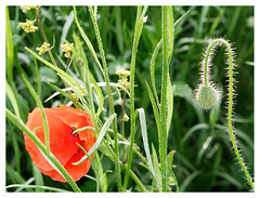 wildflowers-1150614-180519_DxO (Peadingle) Tags: apex park highbridge somerset wild flower meadow close up