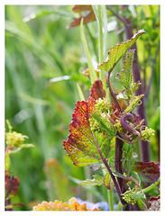 wildflowers-1150610-180519_DxO (Peadingle) Tags: apex park highbridge somerset wild flower meadow close up