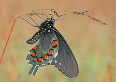 Pipevine Swallowtail Butterfly (hennessy.barb) Tags: pipevineswallowtail swallowtail butterfly insect cataloochee cataloocheevalley dewey battusphilenor barbhennessy