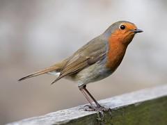 Robin (doranstacey) Tags: nature wildlife birds robin ulley countrypark tamron 150600mm nikon d5300