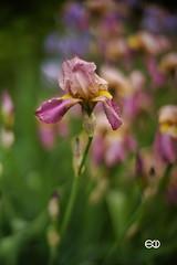 7 artisans 50mm 1.1 (Ney Bokeh) Tags: 7artisans 50mm11 lm mf dof bokeh flowers