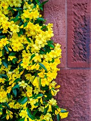 yellow flowers (ekelly80) Tags: dc washingtondc april2019 spring garden enidahauptgarden smithsonian castle flowers yellow green gate