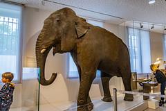 51-Eléphant (Alain COSTE) Tags: bordeaux gironde france jardinpublic museum 2019 nikon
