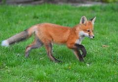 fox1 (Peter Granka) Tags: redfox fox foxkits