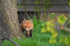 fox2 (Peter Granka) Tags: redfox fox foxkits