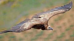 Buitre Leonado (Gyps fulvus) Griffon vulture (berserker170) Tags: griffonvulture gypsfulvus buitreleonado flickrexploreme naturalezacautivadora buitre montaña mountain eos eos7d sigma sigma150600mmf563dgoshsmsports garciasola puertopeña extremadura españa spain naturaleza nature wilderness canon ave bird pajaro birdofprey avedepresa animal