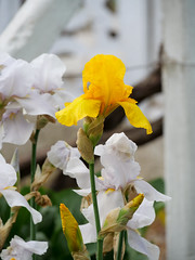 Irise im Elterngarten_ (Vladislav Ihl) Tags: blume europa garten krim motive natur orte pflanze pflanzen uglovoje ukraine