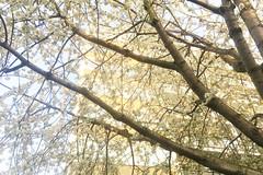 Memories Of Spring (Coquine!) Tags: christianleyk unitedkingdom england greatbritain london pimlico estate fauxvintage sepia bloom blossom tree baum blüte primavera spring frühling