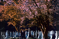 Cemetery cherries (threepinner) Tags: mikasa yayoi ikushunbetsu northernjapan hokkaidou hokkaido cherry tomb cemetery canon av1 tefnon 70210mm f35 negative iso100 selfdeveloped reversal negaposidevelopment plustek opticfilm 8100 弥生 三笠 北海道 墓地