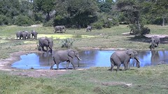 at the water hole-KwaZulu-Natal, South Africa (chachasarra) Tags: elephants