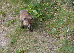 Red fox cub (Mibby23) Tags: red fox cub vulpes wildlife nature durlston canon 5dmk4 sigma 150600mm contemporary