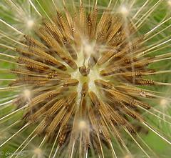 Seeds of time-0134 (carianneimages) Tags: dandelion dandelionclock clocks uk flora