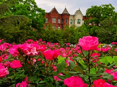 rose season (ekelly80) Tags: dc washingtondc april2019 spring capitolhill view roses flowers pink rowhouses park