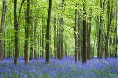 'Bluebell Forest' (benstaceyphotography) Tags: nikonuk benstacey landscape spring woods woodland trees forest nature leaves flowers