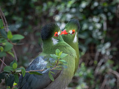 Pair of Turaco's (Orias1978) Tags: africa animal avian beak bird black curious feather forest green jungle natural pet portrait red tree tropical vibrant white wild african animals background beautiful bright cheeked close closeup colorful crested exotic feathers guinea knysna leucotis looking nature persa rainforest south staring tanzania tauraco touraco turaco uganda watching wildlife wildness