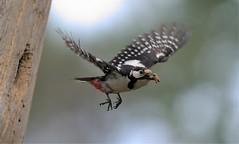 great spotted woodpecker in flight (fire111) Tags: great spotted woodpecker flight bif bird birding wild wildlife