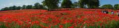 【Panorama】Poppy (yasky0786) Tags: poppy flower red park national ポピー 昭和記念公園 花 赤 国営公園 asiafavorites happyplanet