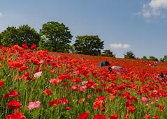 Sombrilla (yasky0786) Tags: poppy flower red park national ポピー 昭和記念公園 花 赤 国営公園 asiafavorites happyplanet