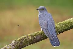 Cuckoo (JaneTurner68) Tags: cuckoo bird fly canon1dmkiv canon100400mmmkiilens canon