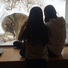 olivia sophia wolf 2014 (Pictures by Ann) Tags: olivia sophia wolf wolfcenter ely winter learning learn observe observation