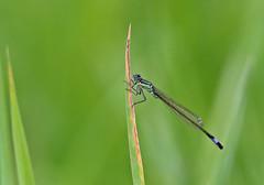 Blue Tailed Damselfly - Michael Bird (Just call me Doc) Tags: bluetaileddamselfly damselflies dragonfly dragonflies odonata ischnuraelegans corbettsmeadow attenboroughnaturereserve attenborough nottingham nottinghamshire canon tamron g2 6d 150600mm michaelbird