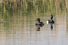 Tufted Duck pair-1075 (WendyCoops224) Tags: 100400mml 80d rspblakenheath canon eos springwatch ©wendycooper tufted duck