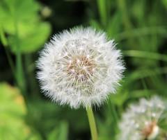 Dandelion (lesleydoubleday) Tags: dandelion flower
