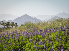 Fine Silica-Dust Particles (skram1v) Tags: silica dust particles airborne palm trees lupine wild flowers desert california march2019 mountains santa rosa