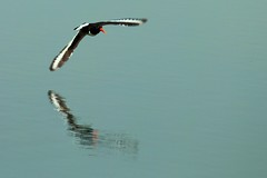 Oyster Catcher (Mrs Airwolfhound) Tags: rutland water 70d canon nature wildlife animals oyster catcher bird red