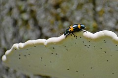 Bug on Fungi (NC Mountain Man) Tags: cataloocheevalley nikon d3400 phixe ncmountainman dof bug insect funge tree lowresolutionversion