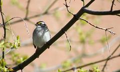 white-throat-sparrow-19 (hunglamcan) Tags: kingstonontario ygk ontario canada bird birds whitethroatedsparrow sparrow spring branch tree