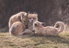 Nap-time over (Tracey Rennie) Tags: hellomojo 52weekchallenge redfox fox cub kit patience mother vixen wild alberta parenting