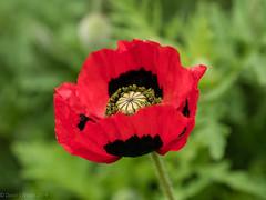 2019 #103 (David S Wilson) Tags: panasonicdmcgx80 england flowers davidswilson ely floral 2019 lightroom cambridgeshire