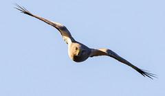 Northern Harrier (Gary R Rogers) Tags: northernharrier closeup hawk dive oregoncoast bird