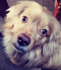 Roni (Santiago Stucchi Portocarrero) Tags: lima perú santiagostucchiportocarrero perro can cane chien hund dog hound roni