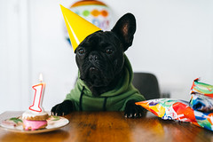 birthday boy (Duke of Gnarlington) Tags: rico french bulldog dog puppy cute birthday cookie candle balloon hat presents gifts baby sony a7r a7riii zeiss 50mm 14