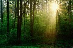 Morning in the forest (prokhorov.victor) Tags: лес природа утро солнце пейзаж деревья