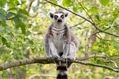 Ring tailed lemur (Lemur catta) at Knuthenborg Wildlife Park (ThomasMaribo) Tags: lemur ring tailed catta wildlife park knuthenborg lolland denmark danmark madagascar animal