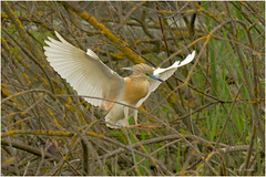 Sgarza ciuffetto in atterraggio_DSC3938 (Artemio Terna) Tags: sgarza ciuffetto ardeola ralloides wild wildlife