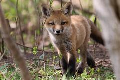Red Fox Kit (stitchersue) Tags: fox redfox kit young curious kawarthalakes ontario canada