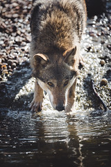 Thirsty (Soren Wolf) Tags: wolf wolves animal animals drink drinking water beautiful bokeh light bright close looking look nikon d750 300mm