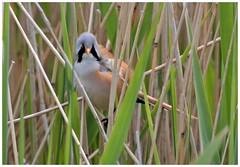Male Bearded Tit...stunning! (Jeremy Eyeons) Tags: beardedtit beardedreedling reeds bird norfolk rspb titchwell panrurusbiarmicus