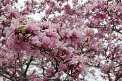 I dolcissimi fiori di una Magnolia stellata rosea ! (hmeyvalian) Tags: angiosperms magnoliids magnoliales magnolia yulania stellata plantae magnoliaceae magnoliastellatarosea jardinbotanique montrealbotanicalgarden montréal québeccanada